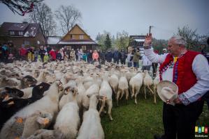 Zimowe mieszanie owiec