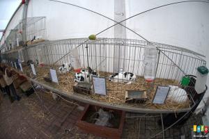 Fotorelacja z II Beskidzkiej wystawy królików, gołębi rasowych, drobiu ozdobnego oraz szynszyli.