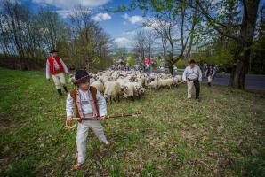 Owce w Koniakowie wymieszane